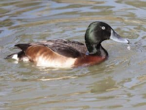 Baer's Pochard at Dausa City in Rajasthan